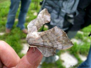 Pappelschwärmer - Schmetterling für Fortgeschrittene